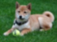 balle de tennis pour chien