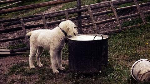 le danger du lait pour les chiens.jpg
