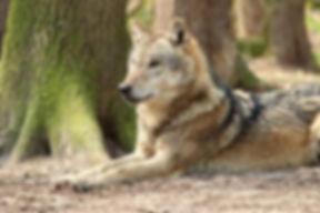 mon chien fait le loup