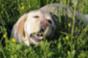 mon chien mange de l'herbe.jpg