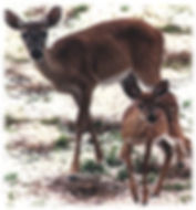 A picture of a doe and a fawn.