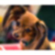 petit chien russe