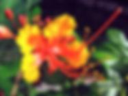 Pride of Barbados Flower, 2, 4982705309_