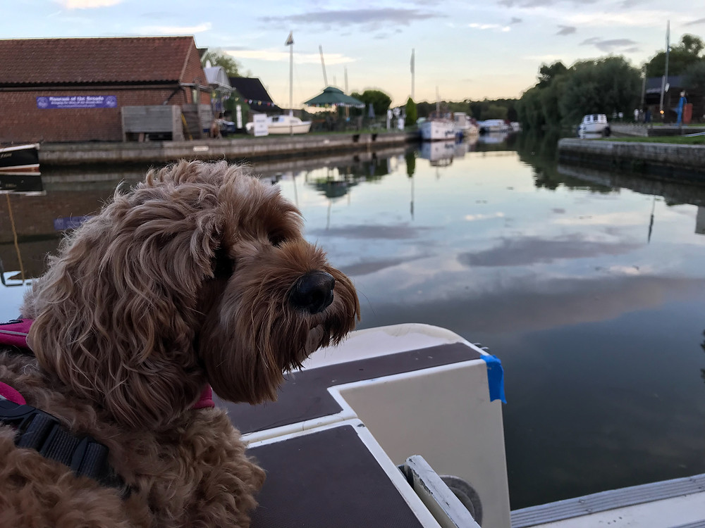 Little Rea enjoying the peaceful evening at Stalham, but where'e the ducks?