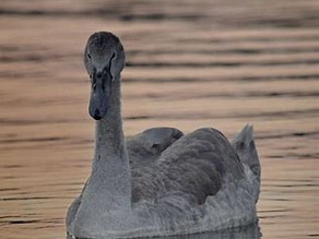 The Importance of Gray Swans and your Money