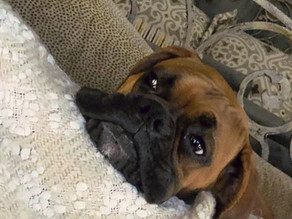 What Beau My Boxer Reminded Me About God