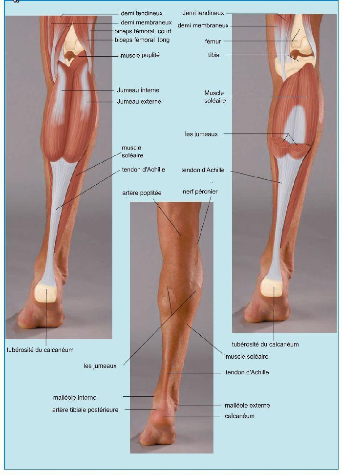 Muscles de la jambe, vue postérieur