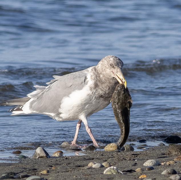 Western Gull + Staghorn Sculpin