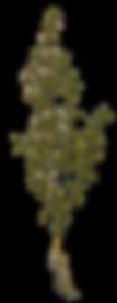 thymus-vulgaris-l-herbal-74318250.png