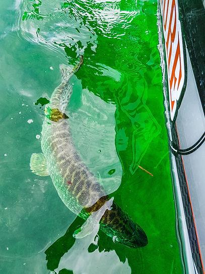 Grand brochet moniteur guide de pêche Fishing aventure