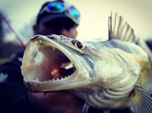 Pêche du Sandre du bord