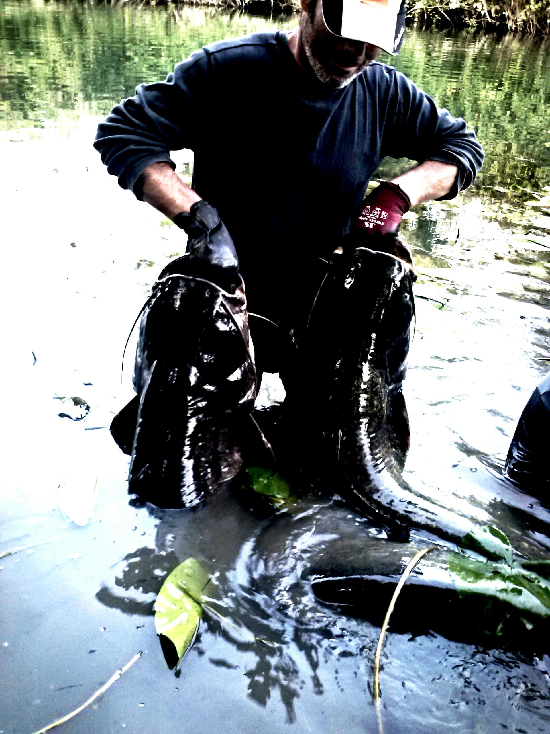 pêche silure glane sur l'Isle