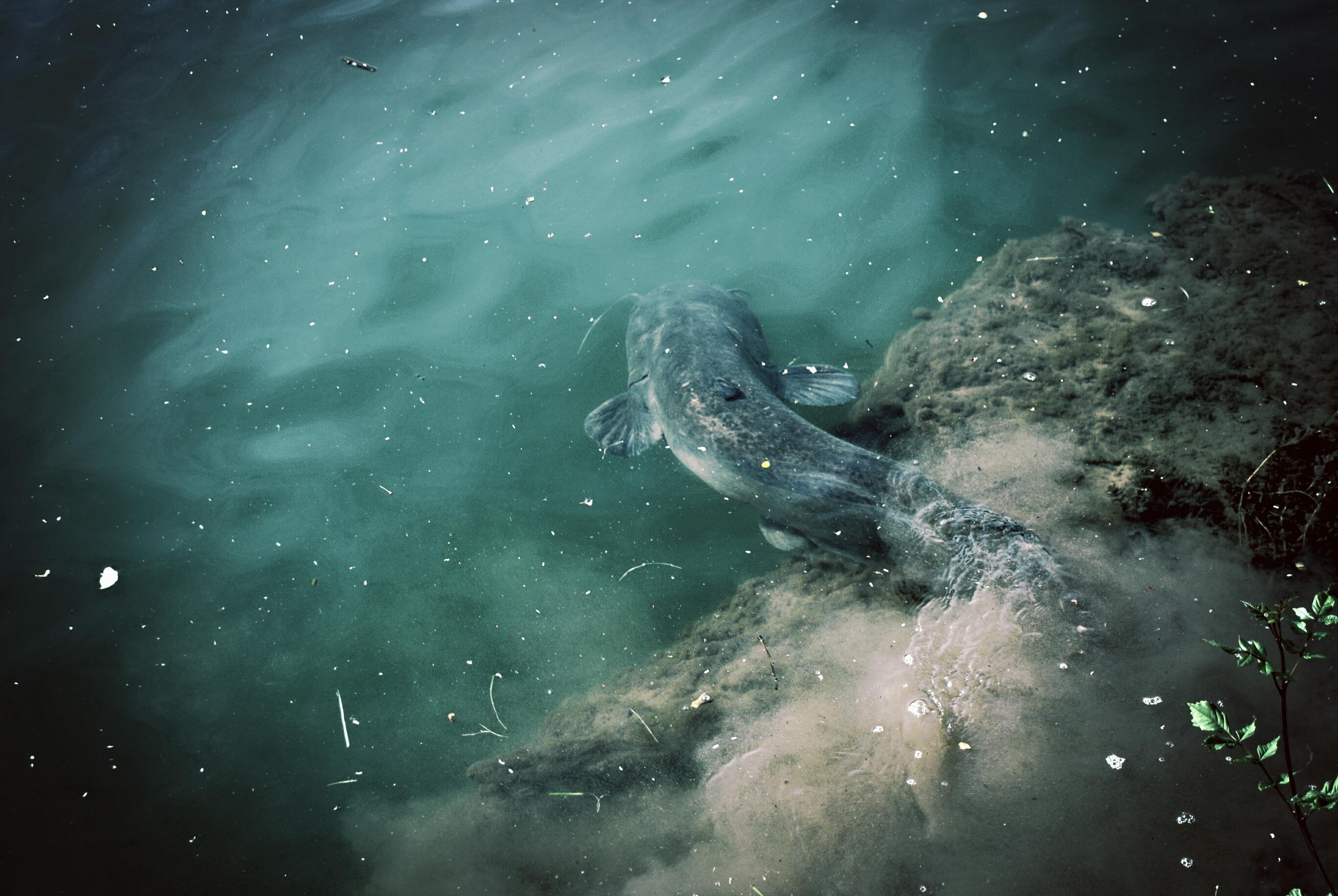 Pêche du Silure Glane