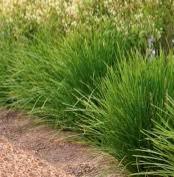 LOMANDRA LIME TUFF- Basket Grass