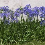AGAPANTHUS STREAMLINE - Lily of the Nile