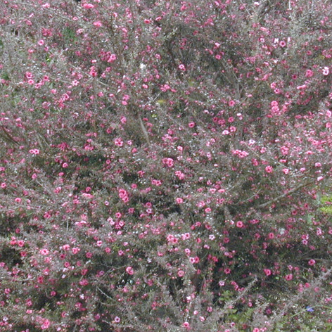 LEPTOSPERMUM CORAL CANDY - Manuka Coral