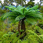 CYATHEA DEALBATA _edited.jpg