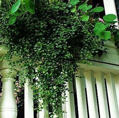 MUEHLENBECKIA COMPLEXA - Maidenhair Vine