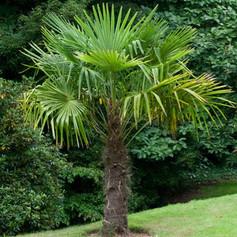 TRACHYCARPUS FORTUNEI - Chinese Windmill Palm