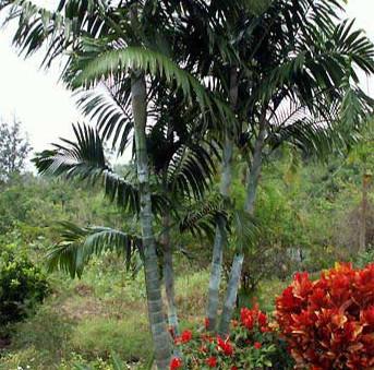 DYPSIS BARONII - Sugar Cane Palm
