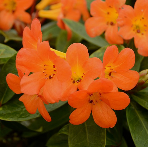 RHODODENDRON VIREYA TROPICAL GLOW