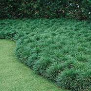 OPHIOPOGON JAPONICUS - Mondo Grass