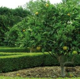 BEARSS LIME - Tahitian Lime