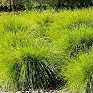 LOMANDRA LITTLE PAL - Basket Grass