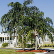 SYAGRUS ROMANZOFFIANA - Queen Palm