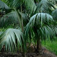 HOWEA FOSTERIANA - Kentia Palm