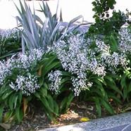 ANTHROPODIUM CIRRATUM - Reinga Lily