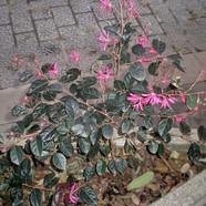 LORAPETALUM CHINENSIS - China Pink