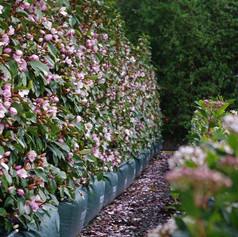 MICHELIA FIGO - Port Wine Magnolia