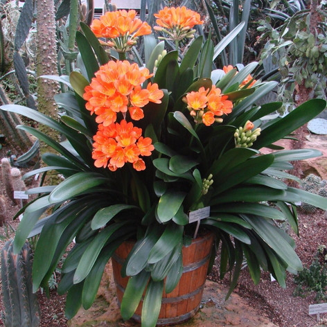 CLIVIA RAINBOW HYBRIDS - Kaffir Lily