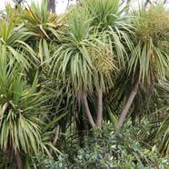CORDYLINE AUSTRALIS - Cabbage tree, Ti Kouka