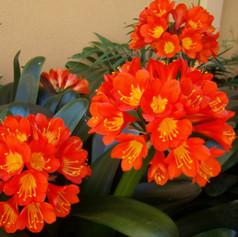 CLIVIA MINIATA - Kaffir Lily