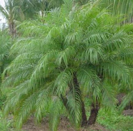 PHOENIX ROEBELENII - Miniature Date Palm