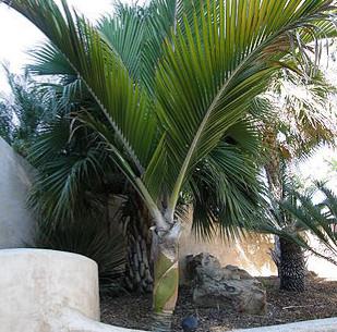 RHOPALOSTYLIS SAPIDA - Nikau Palm