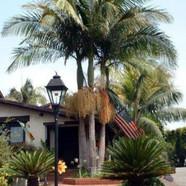 ARCHONTOPHOENIX CUNNINGHAMIANA - King Palm, Bangalow Palm