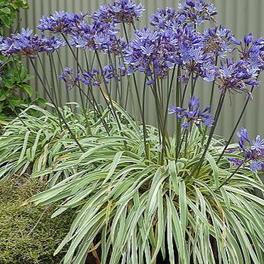 AGAPANTHUS GOLDEN DROP - Lily of the Nile