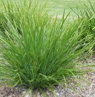 LOMANDRA LONGIFOLIA - Basket Grass