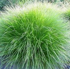 LOMANDRA CONFERTIFOLIA - Basket Grass