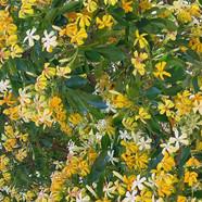 HYMENOSPORUM FLAVUM - Aussie Frangipani