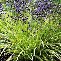 DIANELLA NIGRA - NZ Flax Lily