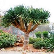 DRACENA DRACO - Dragon Tree