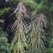 PSEUDOPANAX FERROX - Toothed Lancewood