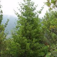 PHYLLOCLADUS TRICHOMANOIDES - Tanekaha, Celery Pine