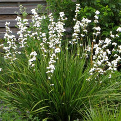 LIBERTIA GRANDIFLORA - NZ Iris