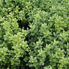 PITTOSPORUM TENUFOLIUM MOUNTAIN GREEN