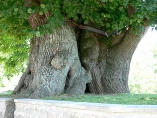 Nejkrásnější strom Evropy 2016
